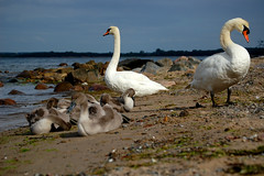 With Kids On The Beach (photoArt) Tags: family sea bird swan young baltic schwan travemnde brodten oststee brodtenerufer