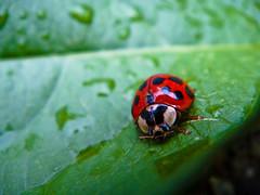 Red bug over a leaf