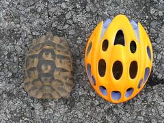 Tortugas cruzando la carretera