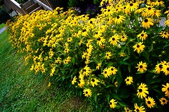 So Sis Planted a Few Flowers (stuntbox) Tags: flowers blackeyedsusan