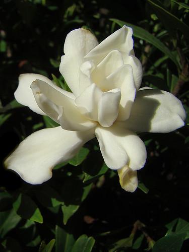 Gardenia jasminoides 'Frostproof'