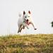 柴犬:JUMP