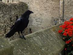 legendary ravens