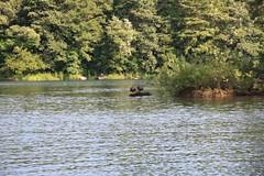小野川湖で翼を休めるカモ