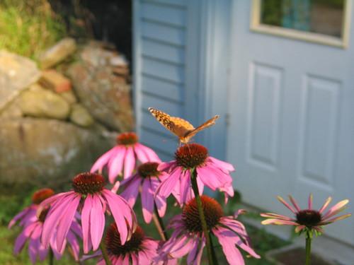 leetle butterfly