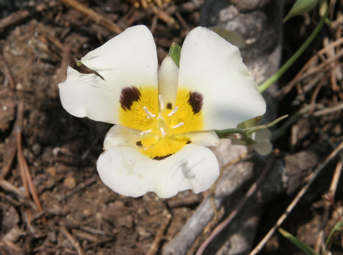calochortus eurycarpus