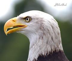 Archie (freebird4) Tags: searchthebest baldeagle sigma nikond50 archie birdofprey birdwatcher supershot haliaeetusleucocphalus freebird4 anawesomeshot impressedbeauty