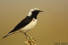 (N-S-S) Tags: bird birds nikon sigma best kuwait nikkor  thebest nasser 800mm  nss    vwc    d2xs golddragon    kvwc    alsolihem