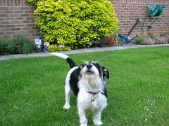Casper (mark.woods) Tags: terrier jackrussell casper mongrel