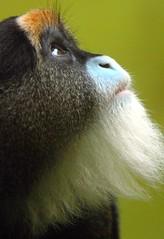 Brazza's monkey (floridapfe) Tags: animal zoo monkey nikon everland  koea d80 platinumphoto brazzamonkey