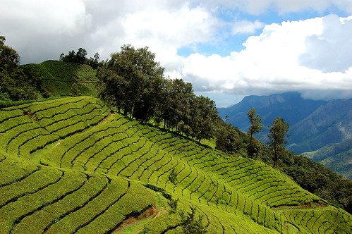 Tea Estate Munnar