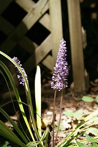 lirope flower
