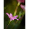 Make you feel my love (kktp_) Tags: flower nature thailand nikon dof bokeh 85mmf14d d80 fairylily ehbd lovethepink