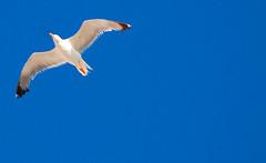 VOLANDO VOY (alfonsoso) Tags: blue sky bird azul ave cielo gaviota alfonsoso