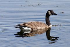 Canadian Goose (Branta canadensis) (sankax) Tags: canada bird minneapolis canadian goose canadiangoose brantacanadensis canadensis branta lakecalhoun sigma70300mm sigma70300mmf456apodgmacro canonxti sigma70300mmf456dgapomacro