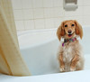 I'm really looking forward to my shower scene, Mr. Hitchcock (Doxieone) Tags: dog cute english standing shower interestingness long curtain cream dachshund explore honey final tub blonde haired coll 1002 longhaired honeydog topfavorite explored englishcream petsaroundtheworld