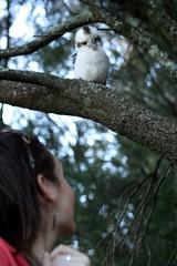 Kookaburra (~ Rob) Tags: tree bird bluemountains kookaburra australianbird