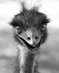 Emu, Nortern Terroritory (C) 2008