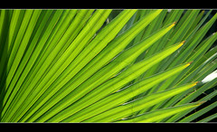Green (Katka S.) Tags: park light sea detail macro tree green leaves islands leaf spain erasmus canarias palm atlantic espana gran canary 2008 islas canaria llp fotocompetition fotocompetitionbronze fotocompetitionsilver