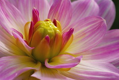 Encore une belle fleur (greg..!) Tags: dahlia flower fleur beautiful wonderful french nikon greg excellent colourful franais beau magnifique vincennes color wonderfulworld supershot d80 colourfu fantasticflower abigfave impressedbeauty ultimateshot overtheexcellence goldstaraward natureselegantshots rubyphotographer 100commentgroup vosplusbellesphotos