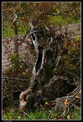 Urbasa 3 (Alfredo Castillo (Tato Fredy)) Tags: naturaleza nature hojas arbol nikon pueblo natura campo monte tronco seco navarra nafarroa baquedano urbasa arbolseco sierradeurbasa txantrea bakedano nikond300 tatofredy alfredocastillo