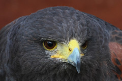 Harris Hawk (Leo Reynolds) Tags: bird animal fauna canon eos zoo hawk iso400 f11 0ev 0008sec 220mm 40d hpexif leol30random groupallanimals xleol30x xratio3x2x xxx2008xxx