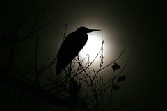The Moon and the Heron (WithUibelong) Tags: moon white black tree heron nature night branches silhouettes fullmoon belmar greatblueheron birdwatcher potofgold withuibelong