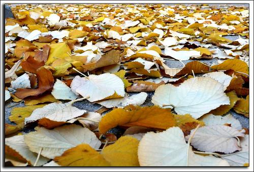el peso del otoño sobre las hojas del tilo