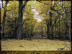 Autumn's carpet /   (Mostafa Bokharaeian) Tags: autumn orange tree fall yellow forest canon carpet leaf flickr mail jungle mostafa      uplad  sd770  ixus85is  bokharaean ixy25 qalemaran