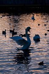 swans_nb-7622 (Herr Schneider) Tags: swans schwaene nymphenburg
