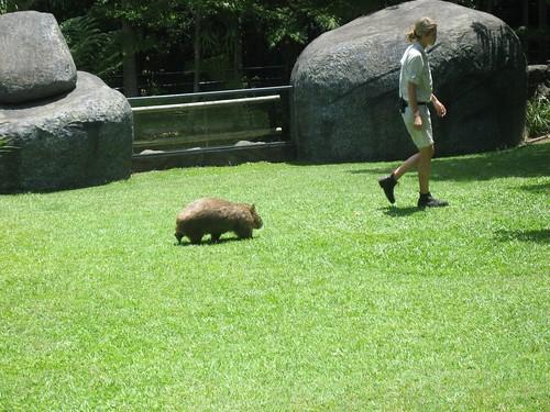 Wombat follows a zookeeper