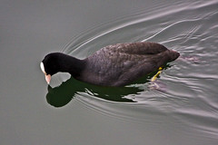 Fulica atra (storvandre) Tags: lake bird water birds mirror birdwatching coot acquatic fulica folaga