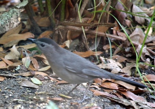 gray catbird photo by Adrienne Zwart