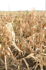 Regional partnership with CIMMYT facilitates drought tolerant maize development in Thailand (CIMMYT) Tags: red plant planta field thailand corn asia southeastasia experimental tailandia research breeding drought campo network agriculture seleccin partnership maize trial screening collaboration plot ensayo cooperation sequa researchcenter asociacin agricultura parcela researchstation maz investigacin colaboracin cooperacin sudesteasitico experimentstation cimmyt amnet mejoramiento germplasm germoplasma droughttolerance centrodeinvestigaciones tolerancaalasequa estacinexperimental estacindeinvestigacin asianmaizenetwork