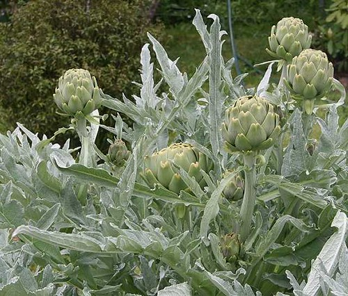 Artichokes in our Garden by Faye Pekas