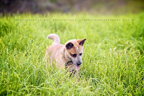 Shadow chasing Sheila the Australian Cattle Dog, photographed by twoguineapigs pet photography.