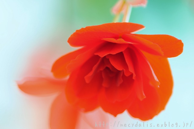 Begonia...