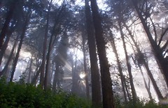 looking up in the black and blue forest (LOLO Italiana) Tags: sanfrancisco ca trees nature fog forest sunrise landscape sunburst mountdavidson treesinfog