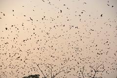 Swarmed (Le*Gluon) Tags: africa sky flying bat togo bats swarm lom