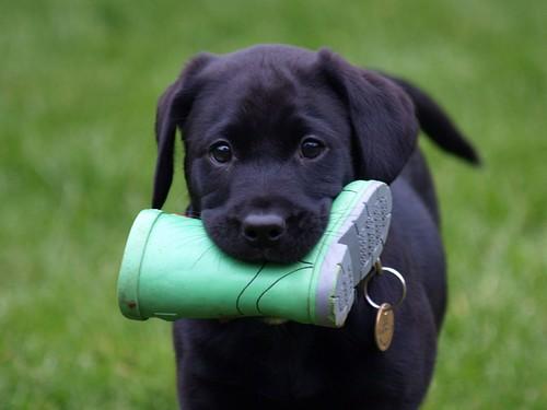 無料写真素材, 動物 , 犬・イヌ, 子犬・小犬, ラブラドール・レトリバー