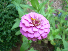 Budding Beauty (Yugidean) Tags: pink flower nature beautiful purple natural bloom fullbloom
