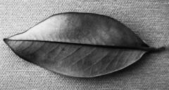 Foglie (carlo_ska) Tags: foglie alberi boschi