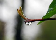 DSC_0049-2 (Salvatore Lo Faro) Tags: flower water fiori acqua pioggia gocce