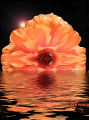Flower Reflection (Kendra_) Tags: sunset orange flower reflection water waves ripple orangeflower fabulous sunsetflower diamondclassphotographer flowerreflection picturefantastic theperfectphotographer beautifulsecrets