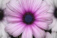 osteospermum - blue eyed daisy (Cindy シンデイー) Tags: africandaisy osteospermum capedaisy southafricandaisy blueeyeddaisy goldstaraward