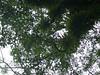 96.11.12嘉義縣靈巖禪寺旁老茄苳樹DSCN3149
