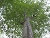 97.05.22平和國小吉貝木棉老樹DSCN0630