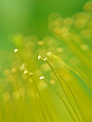 Yellow on green (tanakawho) Tags: plant flower macro green nature yellow dof bokeh line pistil stamen pollen curve tanakawho hypericummonogynum