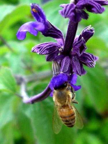 A honeybee on my salvia