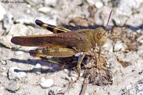 Grasshopper_HickeyCreek_2